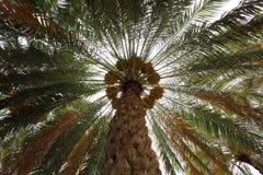 Albero della palma da datteri Fotografia Stock