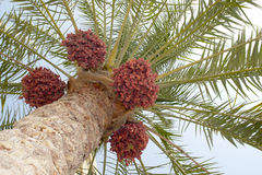 albero della palma da datteri immagini stock libere da diritti