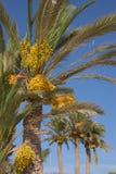 Albero della palma da datteri Fotografie Stock Libere da Diritti
