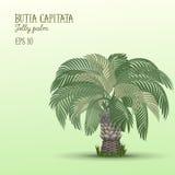 Albero della palma da datteri, capitata di Butia Fotografie Stock Libere da Diritti