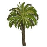 Albero della palma da datteri a colori Fotografia Stock Libera da Diritti