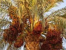 Albero della palma da datteri con i frutti Immagini Stock Libere da Diritti