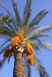 Albero della palma da datteri con le date Fotografia Stock Libera da Diritti