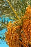 Albero della palma da datteri con le date Fotografia Stock