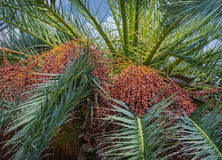 Albero della palma da datteri con le date Immagini Stock Libere da Diritti