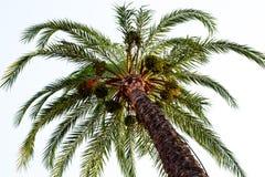 Albero della palma da datteri con verde Immagini Stock Libere da Diritti