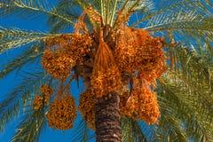 Albero della palma da datteri davanti a cielo blu Fotografia Stock Libera da Diritti