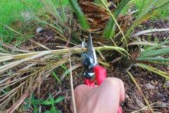 Albero della palma da datteri della potatura con le cesoie immagine stock