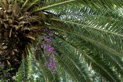 Albero della palma da datteri in fioritura Fotografia Stock Libera da Diritti
