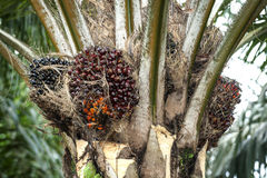 Albero della palma da olio fotografia stock libera da diritti