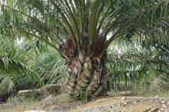 Albero della palma da olio Fotografie Stock