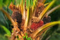 Albero della palma da olio fotografia stock