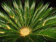 Albero della palma da sago fotografie stock