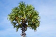 Albero della palma da zucchero Fotografia Stock Libera da Diritti