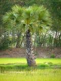 Albero della palma da zucchero Fotografia Stock