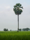 Albero della palma da zucchero nel giacimento del riso Fotografie Stock
