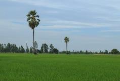 Albero della palma da zucchero o palma del toddy in riso del campo con il fondo del cielo fotografie stock