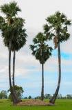 Albero della palma da zucchero o palma del toddy in riso del campo con il fondo del cielo immagine stock