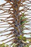 Albero della palma da zucchero, sfrondato Immagine Stock