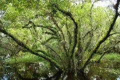 Albero in palude in terreni paludosi Fotografia Stock