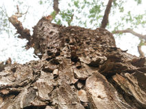 Albero della pelle dell'albero di pioggia Immagini Stock Libere da Diritti