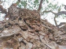 Albero della pelle dell'albero di pioggia fotografie stock libere da diritti