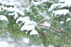 Albero della pelliccia Fotografie Stock