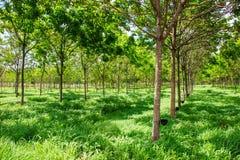 Albero della piantagione di gomma Immagine Stock Libera da Diritti