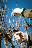 Albero della potatura Fotografia Stock Libera da Diritti