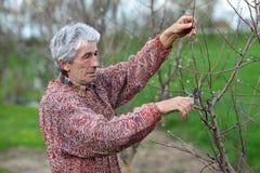 Albero della potatura del lavoratore in frutteto, agricoltura Fotografia Stock Libera da Diritti