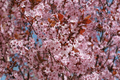 Albero della primavera Immagini Stock Libere da Diritti