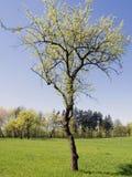 Albero della primavera Fotografie Stock Libere da Diritti