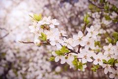 Albero della primavera Fotografia Stock
