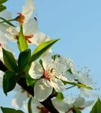 Albero della primavera e poco insetto Fotografie Stock