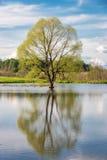 Albero della primavera nel lago durante l'alta marea Fotografie Stock