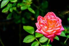 Albero della rosa di rosa Fotografie Stock Libere da Diritti