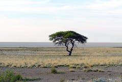 Albero della savanna Fotografia Stock Libera da Diritti