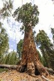 Albero della sequoia al trailhead gigante del museo della foresta, U.S.A. Fotografie Stock Libere da Diritti