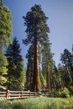 Albero della sequoia gigante, boschetto di Mariposa, parco nazionale di Yosemite, California, U.S.A. Fotografie Stock Libere da Diritti