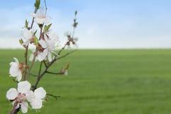 Albero della sorgente con i fiori contro il prato Immagini Stock Libere da Diritti