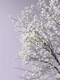 Albero della sorgente in fioritura fotografie stock libere da diritti