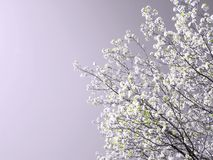 Albero della sorgente in fioritura Fotografie Stock