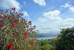Albero della spazzola di bottiglia in piena fioritura accanto al mare Fotografia Stock Libera da Diritti