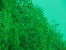 Albero della tamerice con le foglie fotografie stock libere da diritti