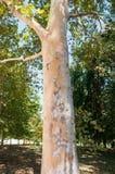Albero della tigre Fotografia Stock