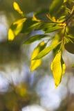 albero della Uccello-ciliegia Fotografia Stock Libera da Diritti