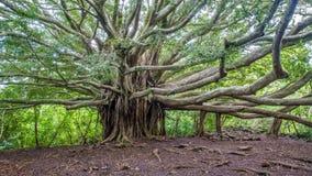 Albero della vita del banyan Fotografia Stock