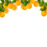 Albero delle arance dolci con fondo bianco fotografia stock libera da diritti
