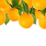 Albero delle arance dolci con fondo bianco fotografia stock