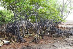 Albero delle mangrovie di inquinamento sulla linea costiera Fotografia Stock Libera da Diritti